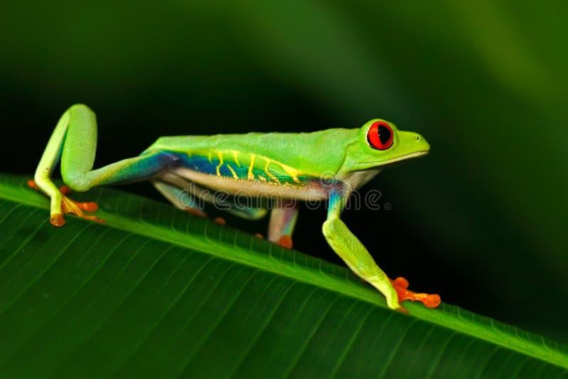 Rana arbórea de ojos enrojecidos, callidryas de Agalychnis, animal con los ojos rojos grandes, en el hábitat de la naturaleza, Co fotografía de archivo libre de regalías