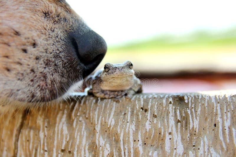 Rana arbórea el oler de la nariz de perro afuera fotos de archivo