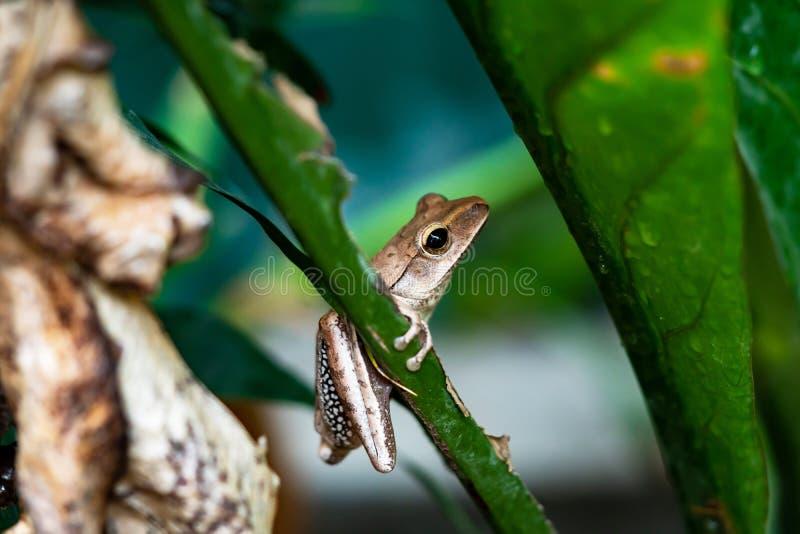 Rana arbórea en las hojas, rana del plátano fotografía de archivo