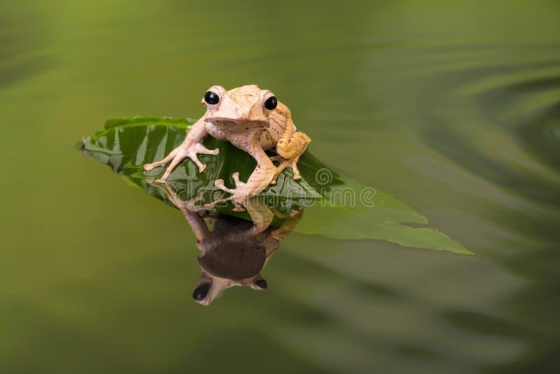 Rana arbórea espigada de Borneo en agua ondulada imagen de archivo libre de regalías