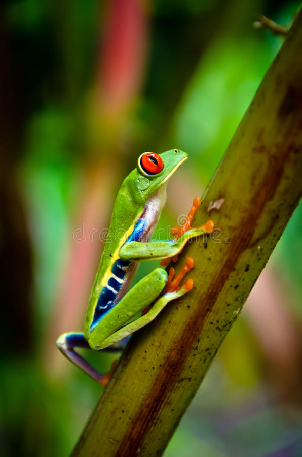 Rana arbórea observada rojo de la hoja de Costa Rica foto de archivo