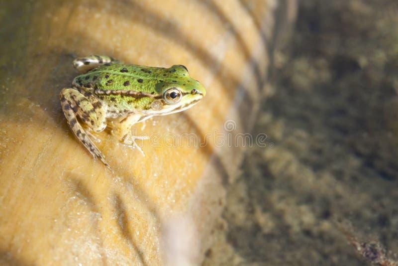Rana arbórea, ranas, rana regordeta que se sienta en la madera fotografía de archivo