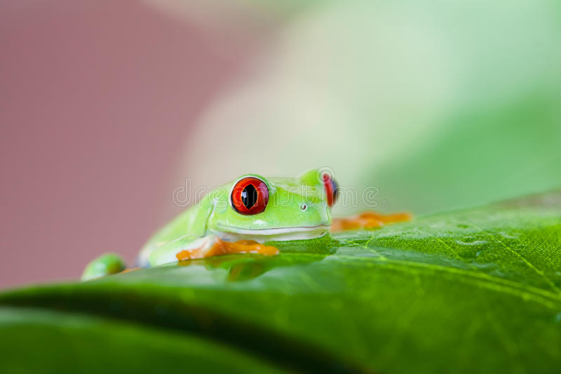 Rana arbórea roja del ojo en la hoja en fondo colorido imagenes de archivo
