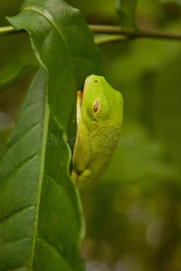 Rana arbórea tropical en Costa Rica que duerme en la hoja foto de archivo libre de regalías