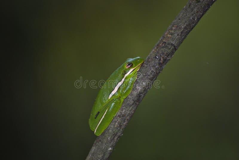 Rana arbórea verde americana foto de archivo