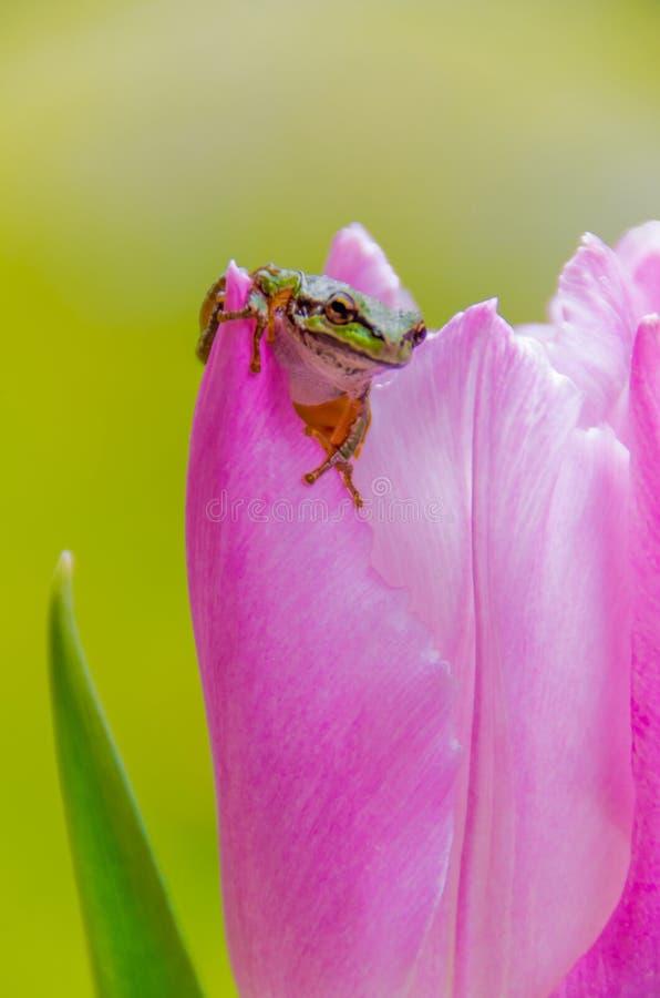 Rana arbórea verde bastante pacífica en tulipán rosado imagenes de archivo
