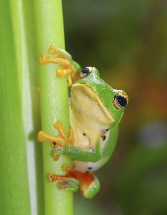 Rana arbórea verde de grandes ojos linda imágenes de archivo libres de regalías