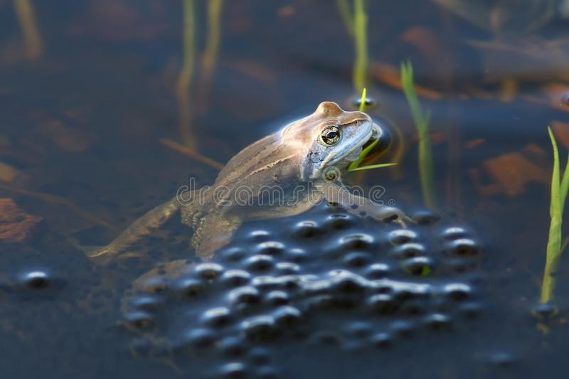 Rana arvalis. Moor frog close-up next to his eggs. Rana arvalis. Moor frog guards the eggs royalty free stock photos