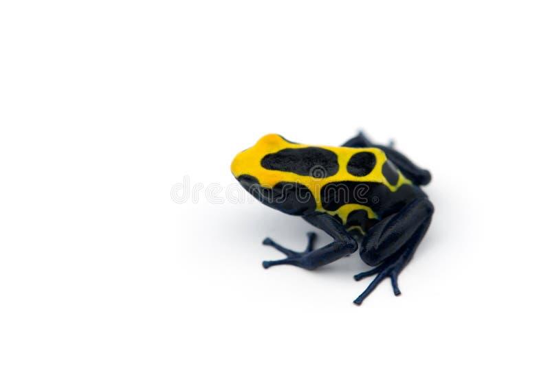 rana Azul-amarilla del dardo del veneno aislada en el fondo blanco fotografía de archivo libre de regalías