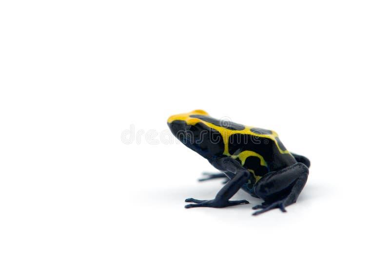 rana Azul-amarilla del dardo del veneno aislada en el fondo blanco fotografía de archivo