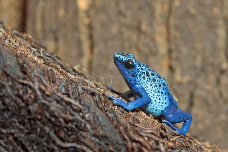 Rana azul del Veneno-dardo foto de archivo