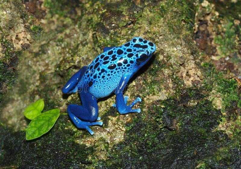 Rana blu - azureus di Dendrobates fotografia stock libera da diritti