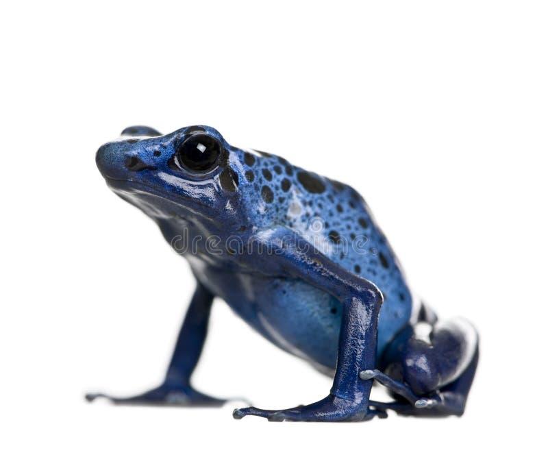 Rana blu del dardo del veleno contro priorità bassa bianca fotografia stock libera da diritti