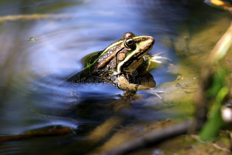 Download Rana Che Osserva Fuori Dall'acqua Fotografia Stock - Immagine di colore, luce: 212554