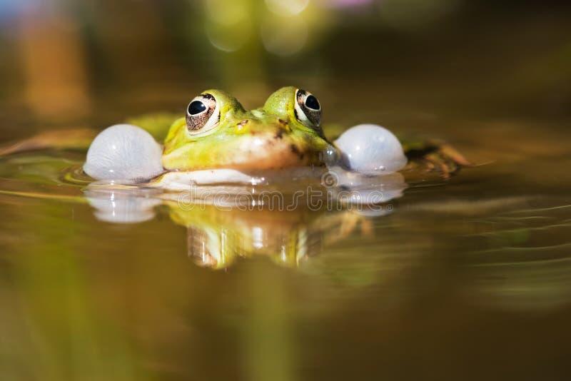 Rana común del agua con las sonido-burbujas imágenes de archivo libres de regalías