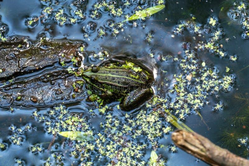 Rana comune esculenta dell'acqua del Rana che prende il sole in un lago immagine stock