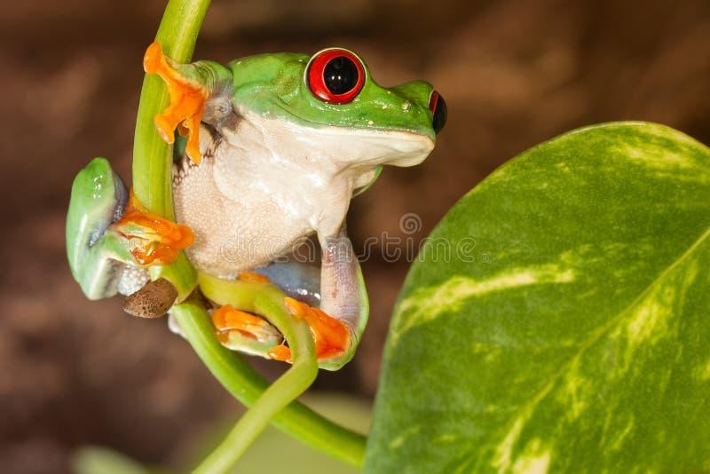 Rana con gli occhi rossi sulla pianta fotografia stock