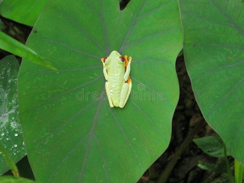 Rana con l'occhi rossi e le gambe, Costa Rica fotografia stock