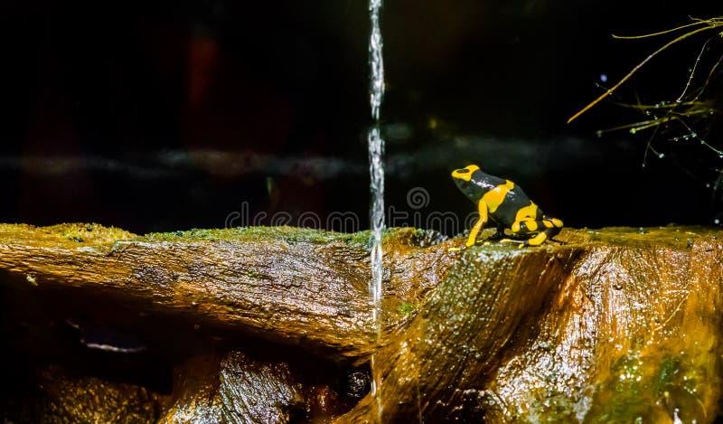 Rana congregada amarilla del dardo del veneno de la abeja un anfibio venenoso y peligroso extremo de América fotos de archivo