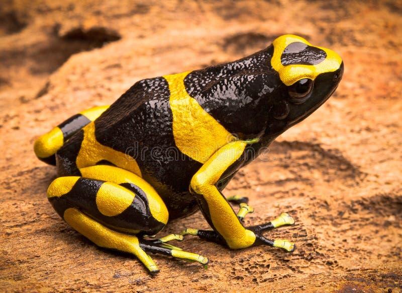 Rana congregada amarillo de la flecha del veneno imagenes de archivo