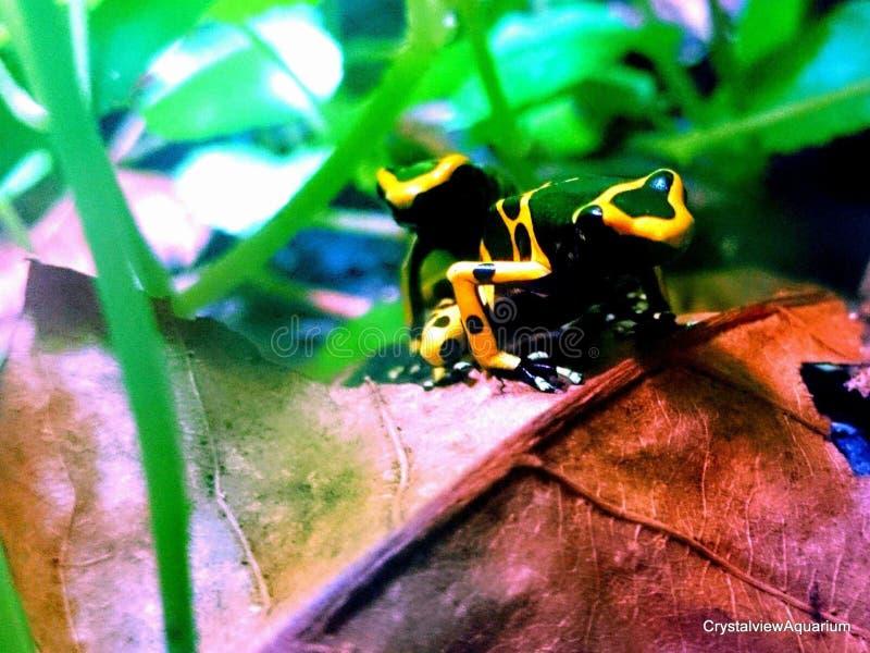 Rana congregada amarillo del dardo del veneno foto de archivo
