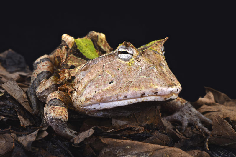 Rana cornuta amazzoniana (cornuta di Ceratophrys) fotografia stock