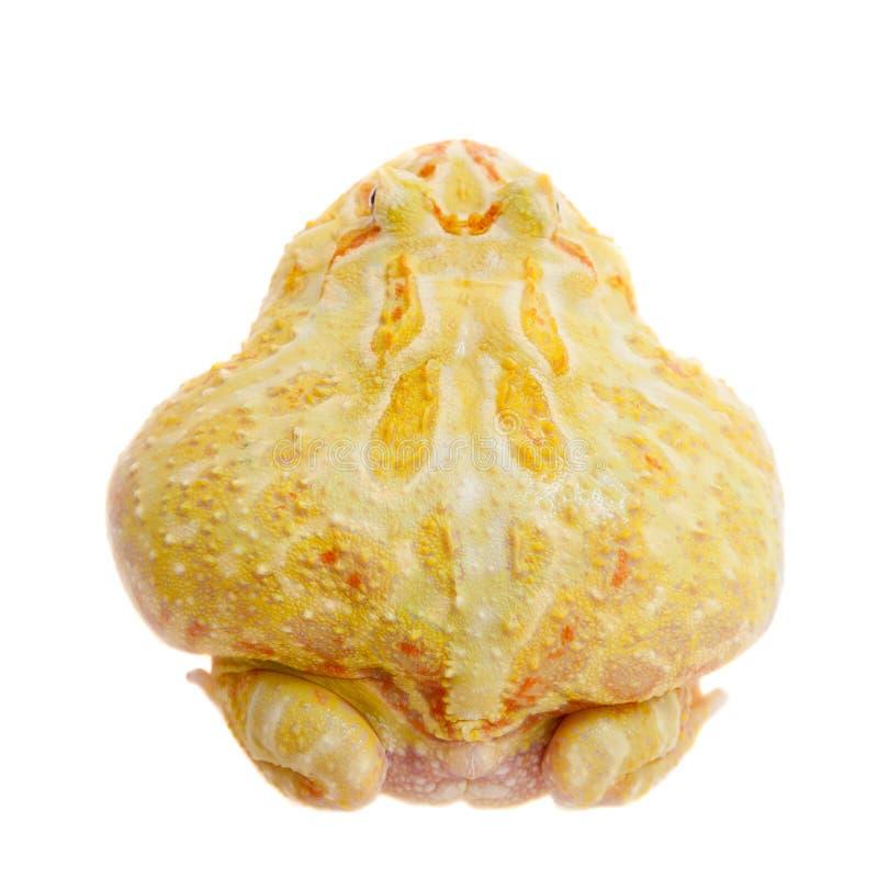 Rana cornuta del ` s di Cranwell isolata su bianco fotografie stock