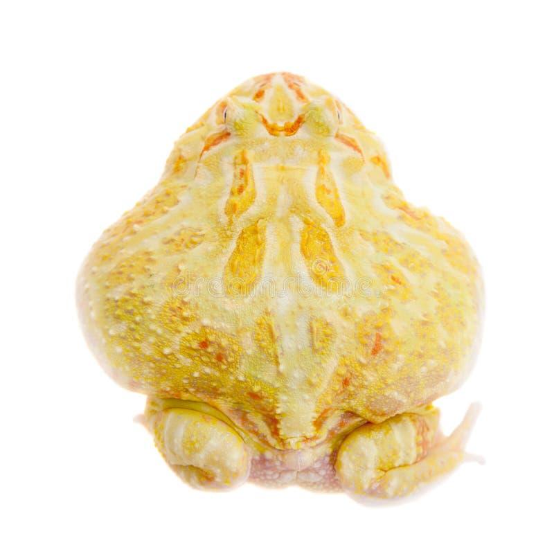 Rana cornuta del ` s di Cranwell isolata su bianco fotografia stock