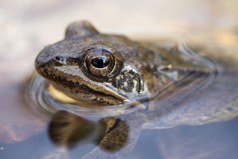 Rana dalmatina. Agile frog Rana dalmatina close-up to head stock photography