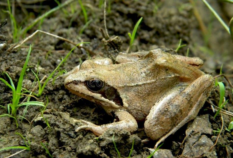 Rana dalmatina - Agile frog. Agile frog (Rana dalmatina) in the wildness of the Carpathian Mountains stock photo