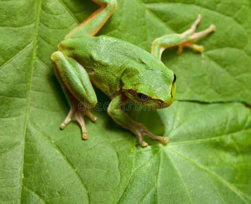 Rana de árbol en fondo de las hojas imagen de archivo