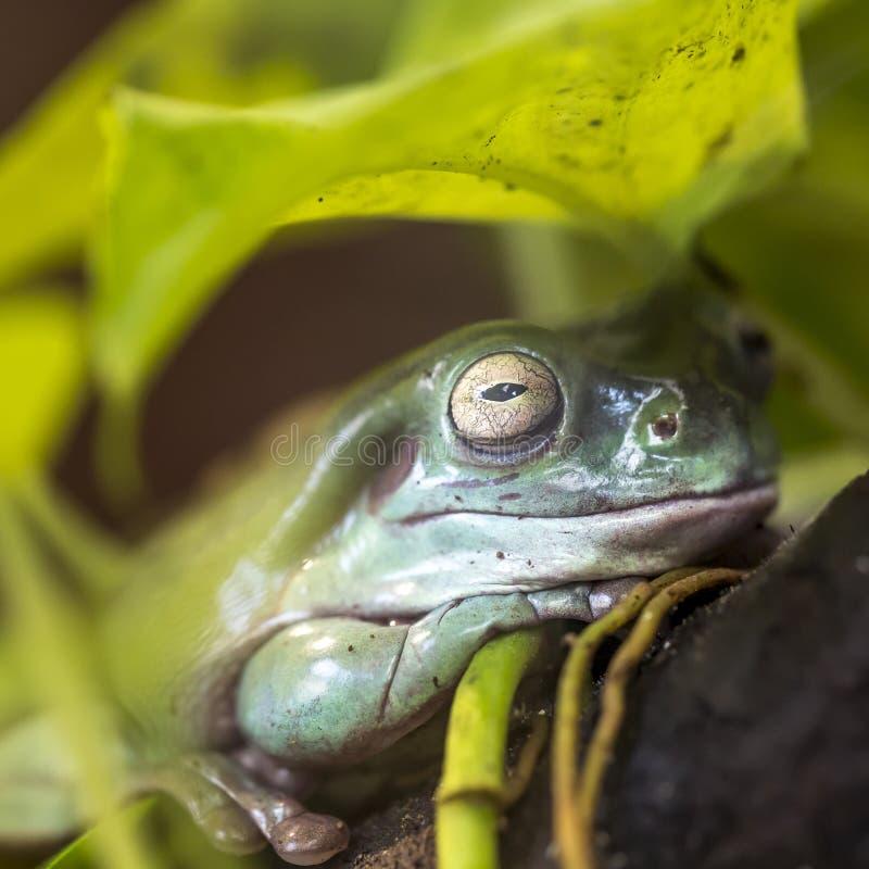 Rana de árbol en selva tropical tropical del Brasil el Amazonas imagen de archivo