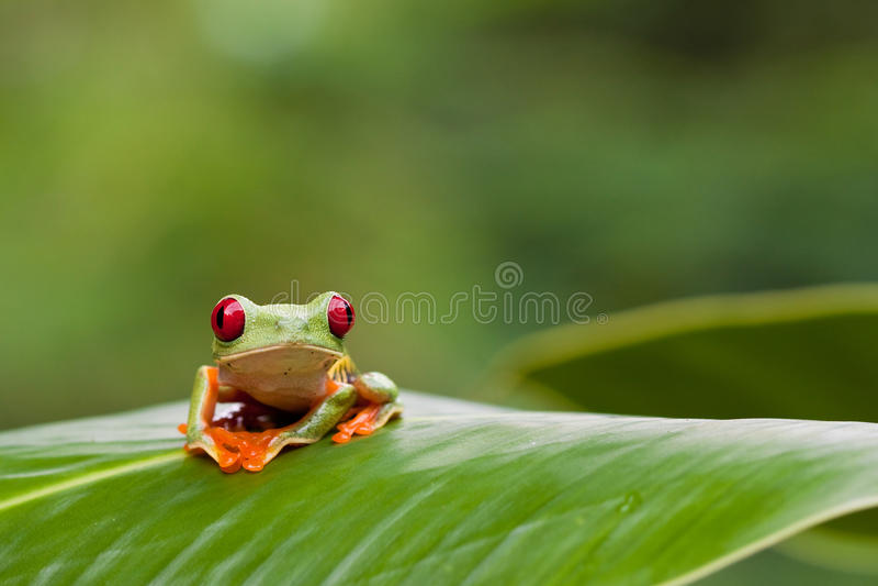 Rana de árbol Red-eyed en la hoja imagen de archivo