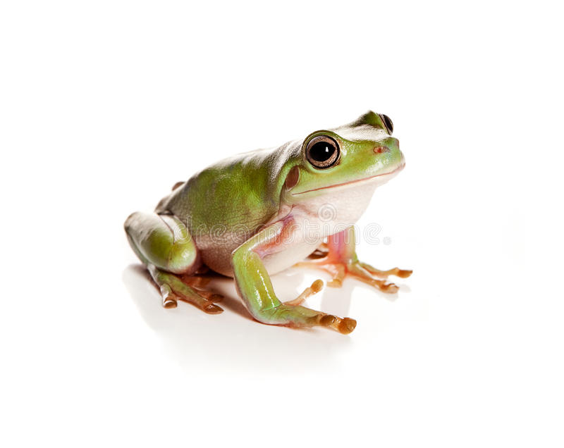 Rana de árbol verde fotografía de archivo libre de regalías