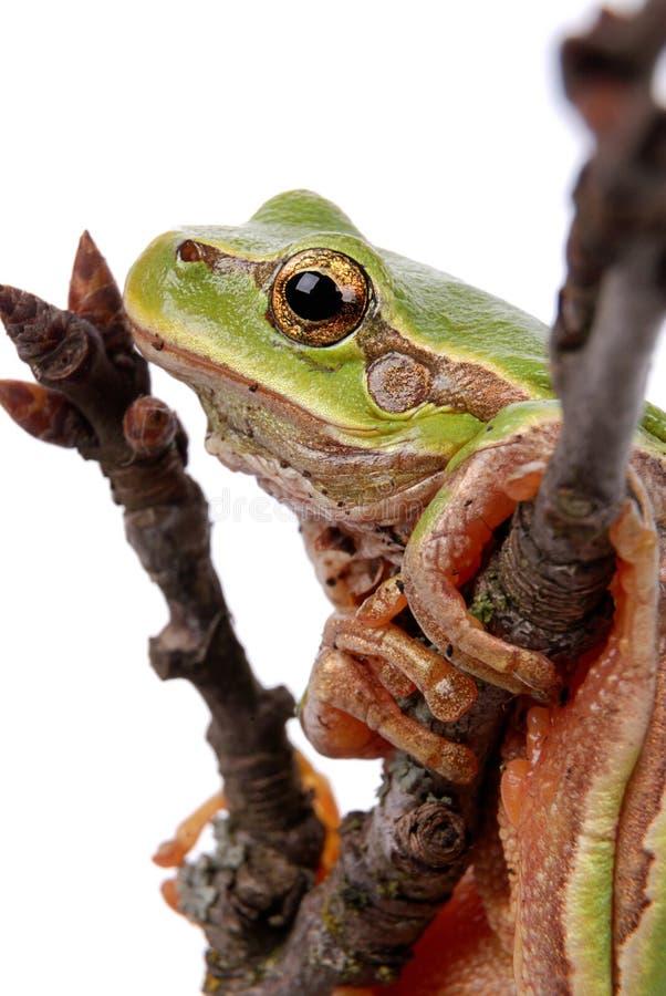 Rana de árbol verde foto de archivo libre de regalías