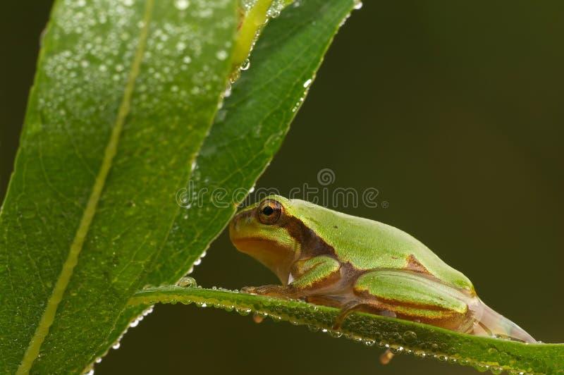 Rana de árbol verde fotografía de archivo