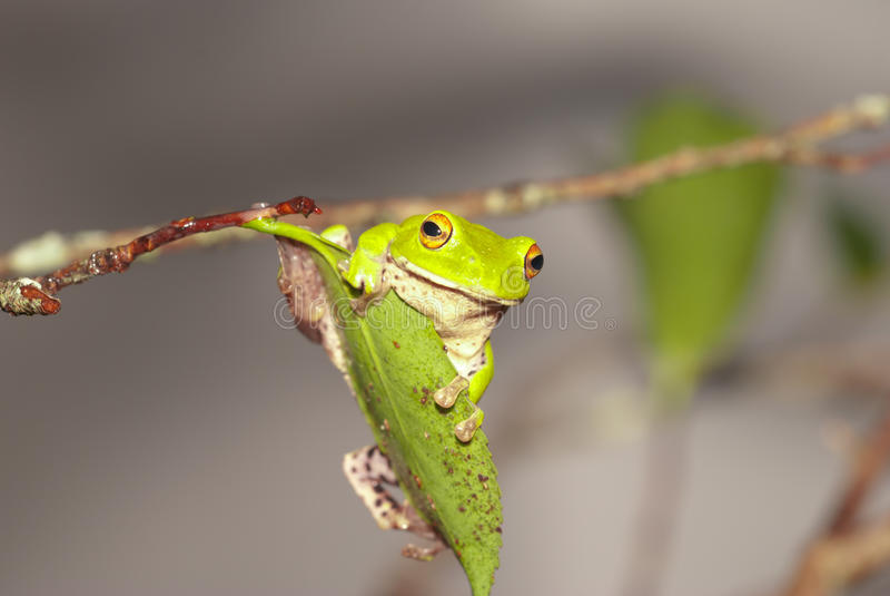 Rana de árbol verde de Moltrechtis imagen de archivo libre de regalías