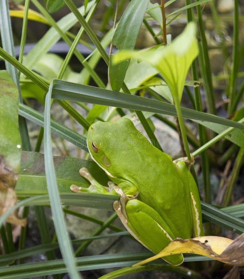 Rana de árbol verde de Port Douglas en una hoja imágenes de archivo libres de regalías