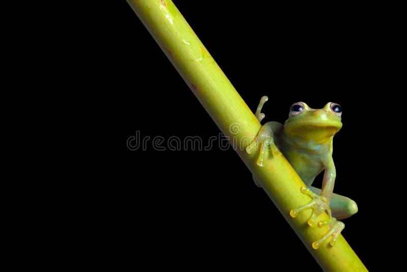 Rana de árbol verde en la noche en selva tropical del Amazonas imagen de archivo libre de regalías