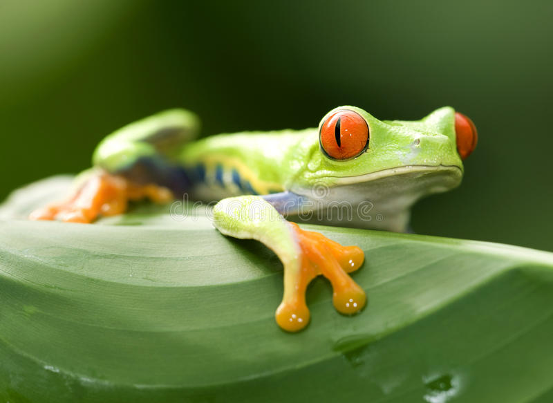 Rana de árbol verde eyed roja curiosa, Costa Rica foto de archivo