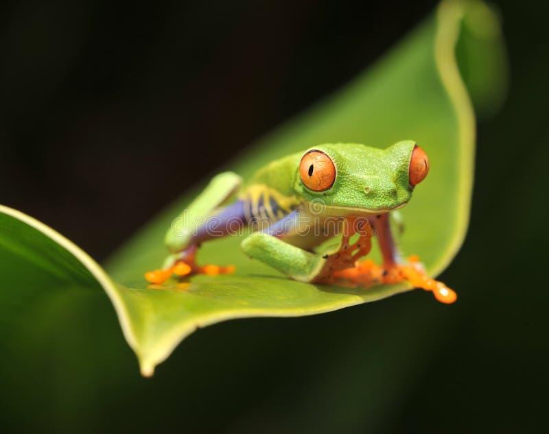 Rana de árbol verde eyed roja curiosa que mira la cámara fotos de archivo libres de regalías