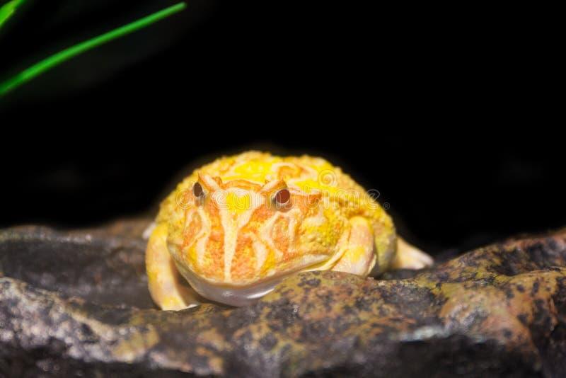 Rana de cuernos amarilla imagen de archivo