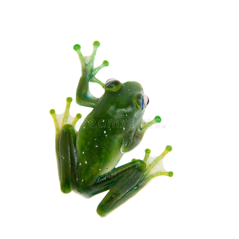 Rana de Emerald Tree en el fondo blanco imagen de archivo