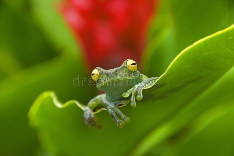 Rana de Equador fotografia de stock