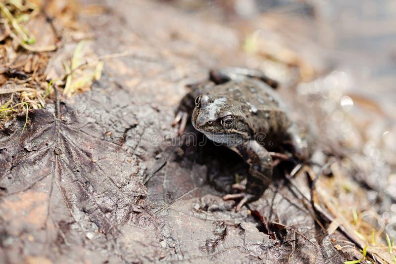 Rana de hierba común (temporaria del Rana) fotos de archivo libres de regalías