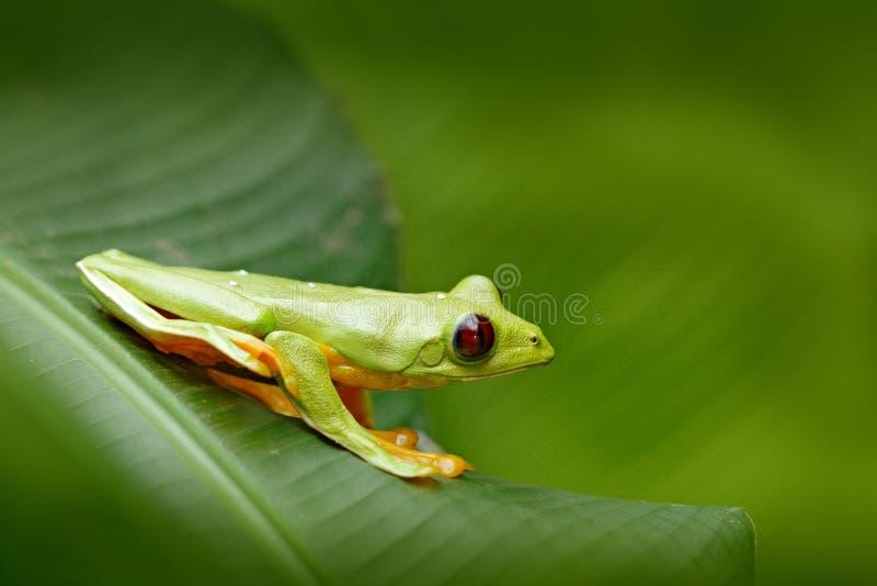 Rana de la hoja de vuelo, spurrelli de Agalychnis, rana verde que se sienta en las hojas, rana arbórea en el hábitat de la natura imagenes de archivo