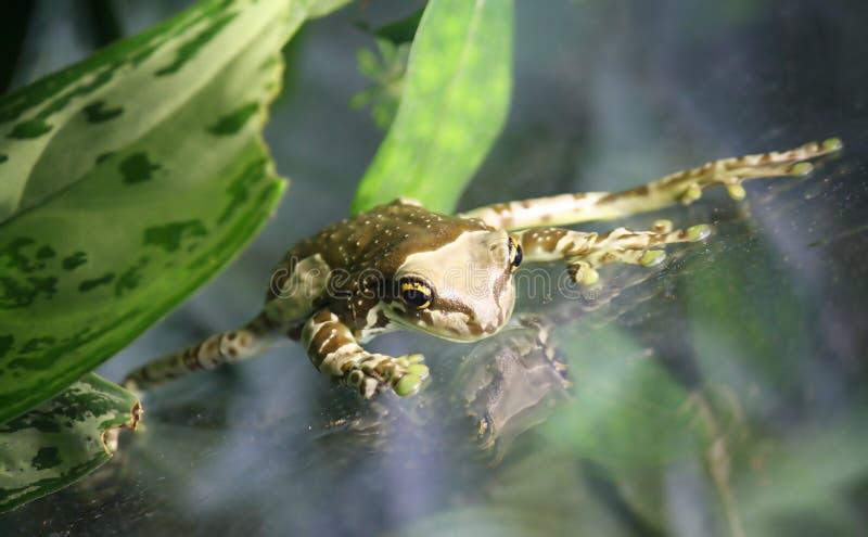 rana de la leche del Amazonas fotos de archivo