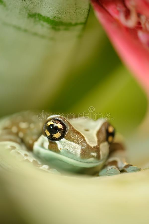 Rana de la leche del Amazonas del frente en la hoja de la flor fotos de archivo