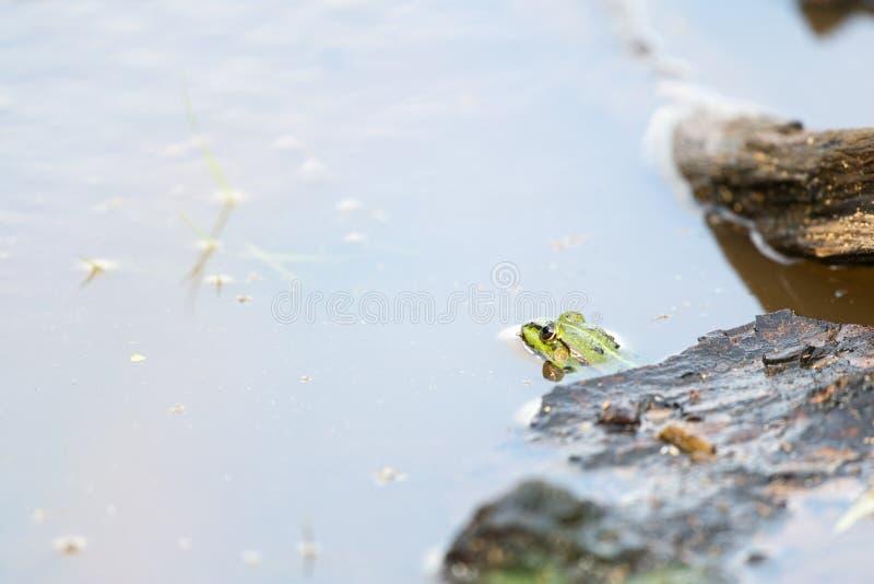 Rana de la piscina imagenes de archivo