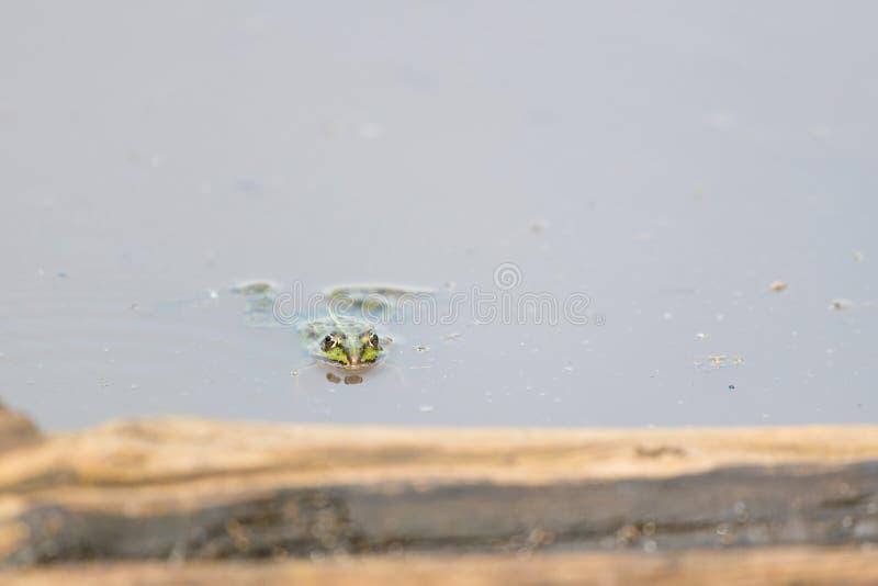 Rana de la piscina fotografía de archivo libre de regalías